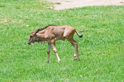 Wildebeest joven Foto de archivo