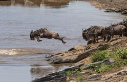 Wildebeest jump royalty free stock image
