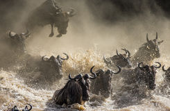 Free Wildebeest Jumping Into Mara River. Great Migration. Kenya. Tanzania. Masai Mara National Park. Stock Images - 79860904
