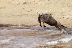Wildebeest jumping in Mara river Stock Image