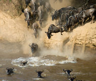 Wildebeest jumping into Mara River. Great Migration. Kenya. Tanzania. Masai Mara National Park. Royalty Free Stock Image
