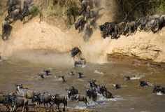 Wildebeest jumping into Mara River. Great Migration. Kenya. Tanzania. Masai Mara National Park. An excellent illustration royalty free stock image