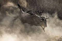 Wildebeest jumping into Mara River. Great Migration. Kenya. Tanzania. Masai Mara National Park. Stock Images