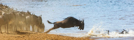 Wildebeest jumping into Mara River. Great Migration. Kenya. Tanzania. Masai Mara National Park. An excellent illustration royalty free stock images