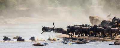 Wildebeest jumping into Mara River. Great Migration. Kenya. Tanzania. Masai Mara National Park. Stock Photography