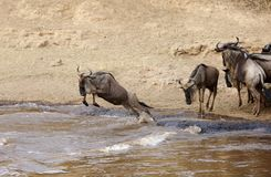 Wildebeest jumping to cross the Mara river Royalty Free Stock Image