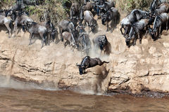 Wildebeest jumps into the river from a high cliff Stock Image