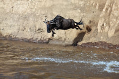 Wildebeest jumps into the river from a high cliff. Masai Mara Game Reserve, Kenya Stock Image