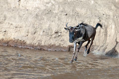 Wildebeest jumps into the river from a high cliff Royalty Free Stock Photo