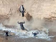 Wildebeest jumps into the river from a high cliff. Masai Mara Game Reserve, Kenya Royalty Free Stock Photo
