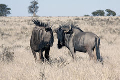 Wildebeest in Kalahari Royalty Free Stock Images