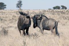 Wildebeest in Kalahari Royalty Free Stock Images