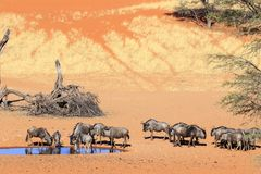 Wildebeest in Kalahari Namibië Stock Afbeelding