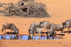Wildebeest in  Kalahari Namibia Stock Image