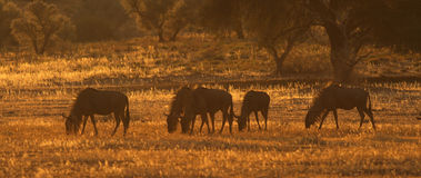 Wildebeest in Kalahari Sunset. A herd of Blue Wildebeest or Gnu (Connochaetes taurinus) feed in the late afternoon sun in the Auob River valleuy in the Kalahari royalty free stock images