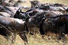 Wildebeest (Kenia) stockbild