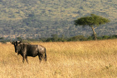 Wildebeest in kenya. (Maasai Mara Stock Photography