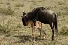 Wildebeest and kid Stock Images