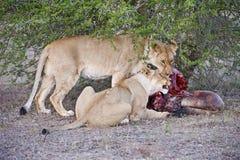 Wildebeest Kill Royalty Free Stock Photo