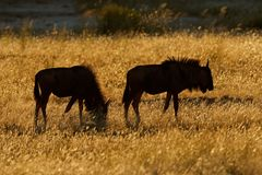 Wildebeest landscape Royalty Free Stock Images