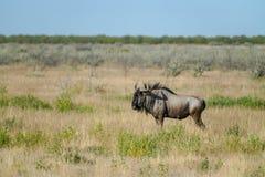 Wildebeest in landscape in Etosha National Park, Namibia. Stock Image