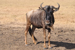 Wildebeest. Lone wildebeest on the African savannah Royalty Free Stock Photo