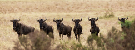 Wildebeest looking over the bushes Royalty Free Stock Photo