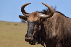 Wildebeest Male Royalty Free Stock Image