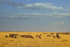 Wildebeest in Masa-mara safari in Kenya Royalty Free Stock Photo