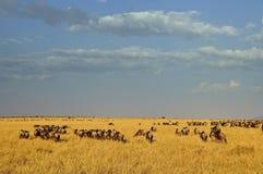 Wildebeest in Masa-mara safari in Kenya. Miration wildebeest masa-mara safari in Kenya, Africa Royalty Free Stock Photo