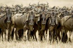 wildebeest masai Кении mara Стоковое Фото