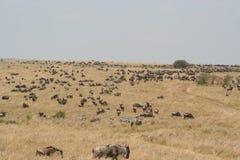 Wildebeest in the Masai Mara Stock Images