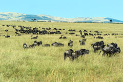 Wildebeest in Masai Mara. Royalty Free Stock Image