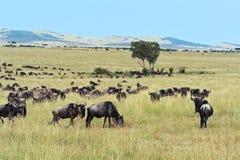 Wildebeest in Masai Mara. Stock Images