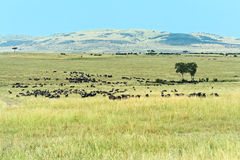 Wildebeest in Masai Mara Stock Photos