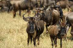 Wildebeest Masai mara Kenia Royalty-vrije Stock Afbeelding