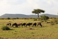 Wildebeest in Masai Mara Kenya Stock Photography