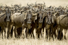 Wildebeest Masai mara Kenya Stock Photo
