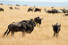 Wildebeest in Masai Mara National Park Royalty Free Stock Photos