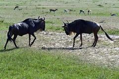 Wildebeest Stock Photography