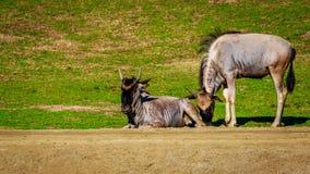 Wildebeest on Meadow Stock Images
