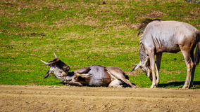 Wildebeest on Meadow Royalty Free Stock Images