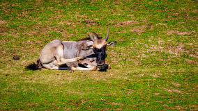 Wildebeest on Meadow Royalty Free Stock Image