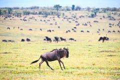 Wildebeest migracja Zdjęcie Stock