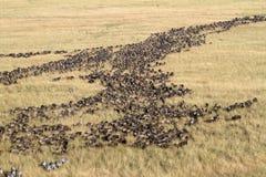 Wildebeest in migratie Stock Afbeelding