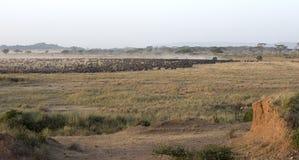 wildebeest migrating. Stock Photos