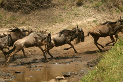 Wildebeest migration Stock Photography