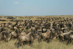 Wildebeest migration Royalty Free Stock Photos