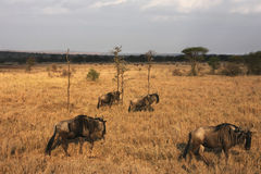 Wildebeest in migration Stock Photos
