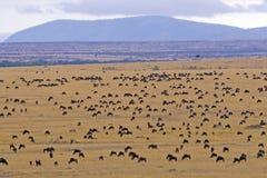 Wildebeest Migration. Through Masai Mara, Kenya Stock Photography